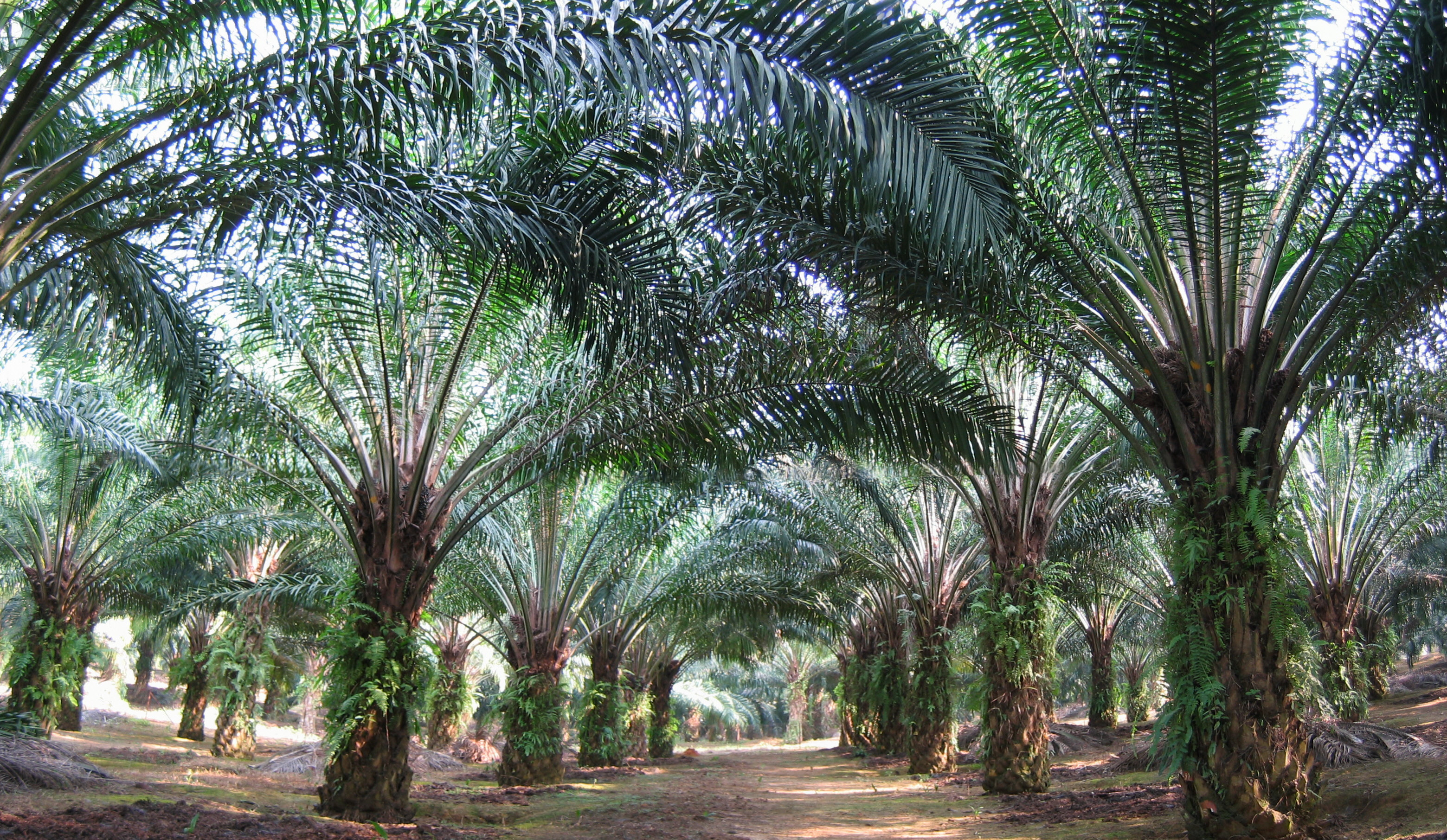 oil palm in malaysia Welcome to the mpob portal the oil palm industry forms the economic backbone of malaysia and continues to face new challenges in the face of globalization.