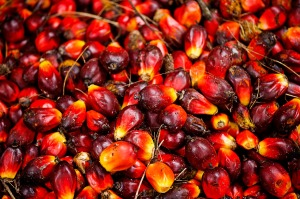 Palm fruit, Musim Mas palm oil plantation, Sumatra, Indonesia
